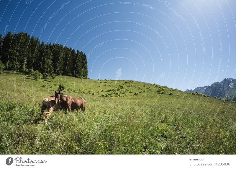 Alpenpferde Freizeit & Hobby Ferien & Urlaub & Reisen Freiheit Berge u. Gebirge wandern Natur Landschaft Pflanze Himmel Sommer Klima Wetter Baum Gras Wiese Feld