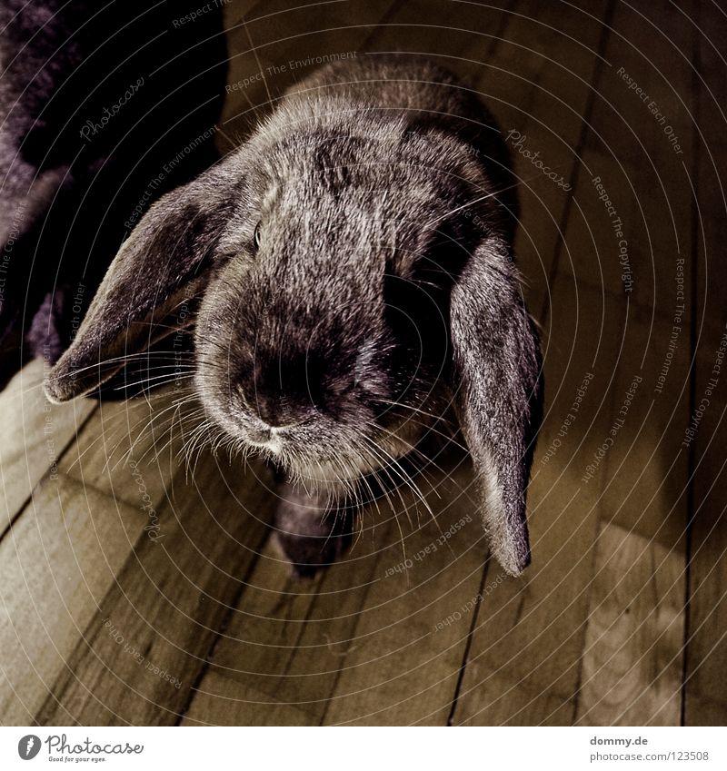 teppichratte Tier grau klein Nase Ohr niedlich weich Tiergesicht Neugier Fell Hase & Kaninchen Haustier Säugetier Schnauze Schnurrhaar Hängeohr