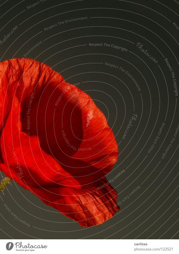 immer wieder Mohntags .... Klatschmohn rot Feld Wiese Gras Gegenlicht Sommer Physik Blüte Frühling Schüchternheit verlegen schön Wärme Blühend Maienzeit