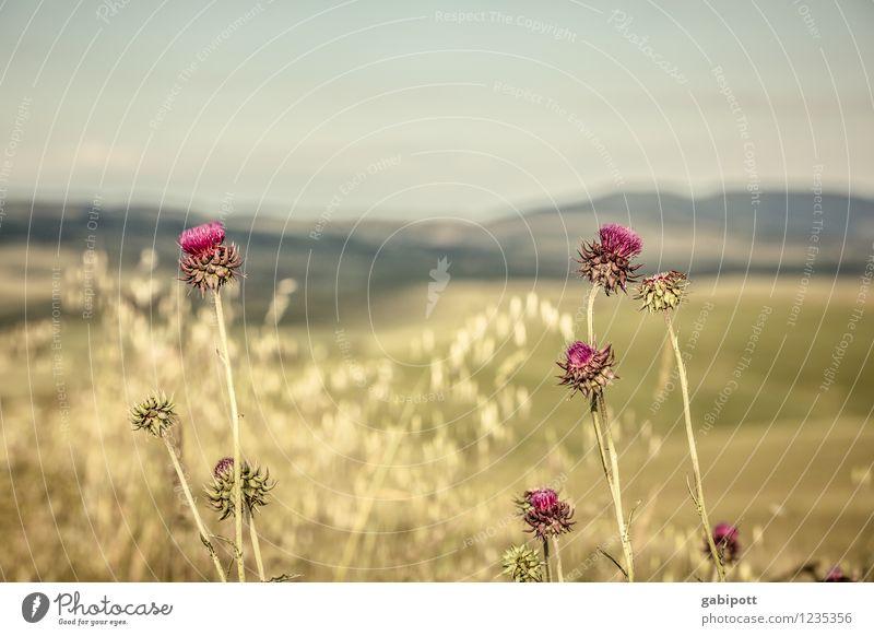 früher war das Gras viel grüner | Kindheitserinnerung Natur Pflanze Sommer Sonne Erholung Landschaft ruhig Umwelt Blüte Wiese braun Horizont rosa Zufriedenheit