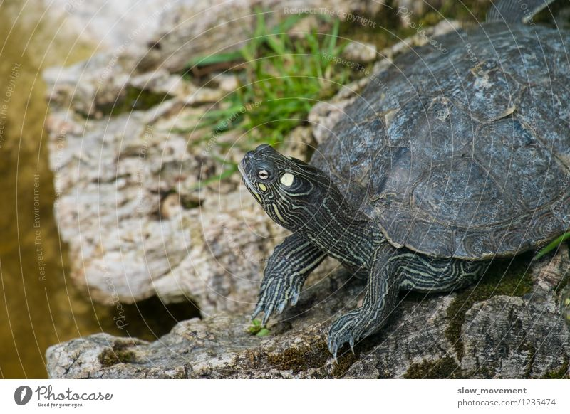 Schildkröte Natur Erholung ruhig Tier natürlich Glück träumen Zufriedenheit Wildtier authentisch warten Beginn genießen Lebensfreude Neugier Tiergesicht