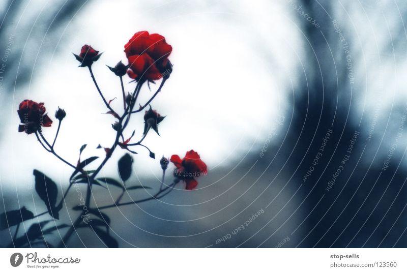 neulich blau im garten rot Winter kalt Garten Blüte träumen Erfolg 3 Rose Rahmen Mantel Gift König Begierde Hass