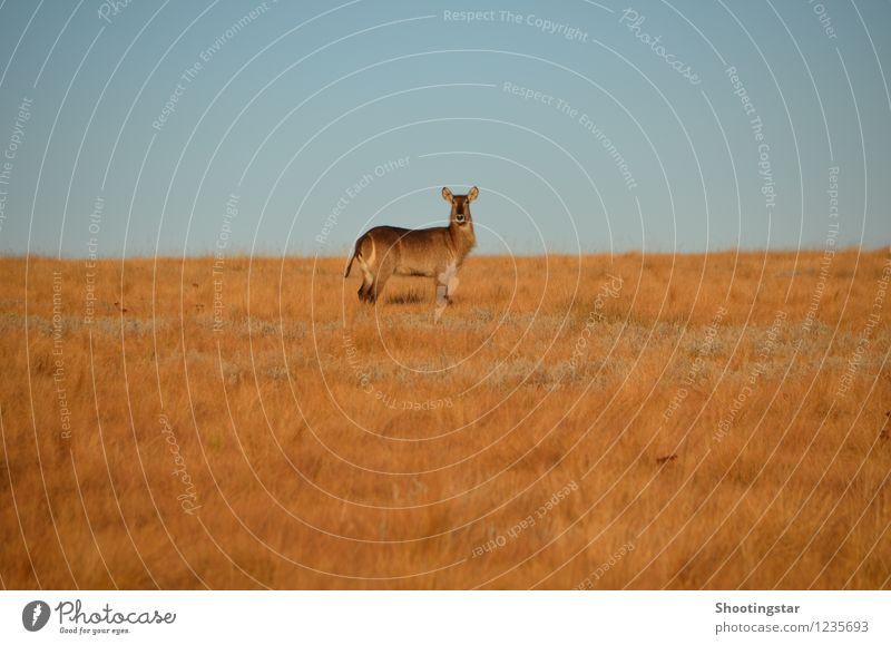 Was guckst du? Natur Landschaft Tier gelb Wärme Wiese Feld Wildtier ästhetisch heiß Wachsamkeit Afrika Mittelpunkt