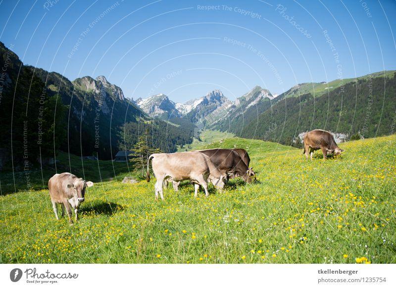 Bergweide Ferien & Urlaub & Reisen Tourismus Ausflug Berge u. Gebirge wandern Natur Landschaft Wolkenloser Himmel Frühling Sommer Wiese Alpen Berg Säntis Weide