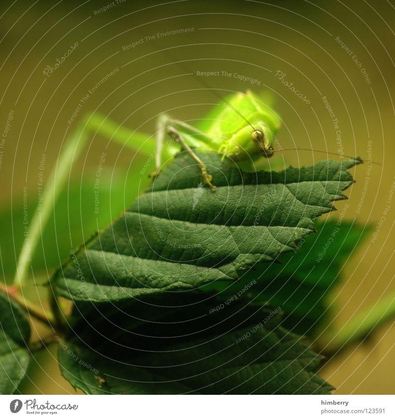 master flip (long leg edition) Insekt Tier Blatt grün Heimchen Schädlinge Heuschrecke Fressen Salto nagen Ernährung springen hüpfen festhalten Makroaufnahme