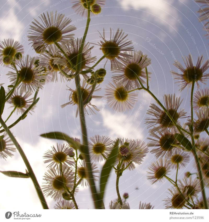 damals Blume Wiese Wolken Wachstum Froschperspektive streben bedrohlich Pflanze Blüte Sommer frisch kalt Gegenteil außergewöhnlich Gras Stengel Insekt Kamille
