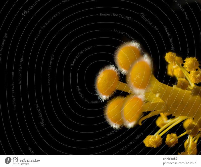 Bunga Raya Hibiscus Hibiscusblüte Blüte Blume Stengel Blütenstiel Pollen Staub bestäuben Fortpflanzung Organ Samt weich gelb lang Hawaii schwarz groß