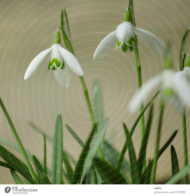 Frühling im Februar... schön weiß Blume grün Schnee Blüte Frühling Wärme klein Insekt Physik Blühend Quadrat niedlich Schönes Wetter Samen