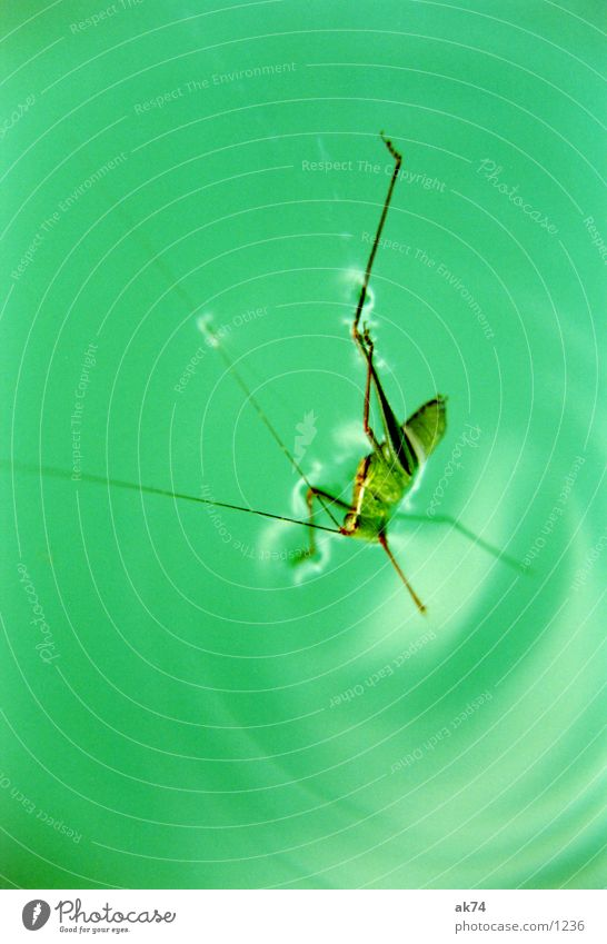 Grashüpfer Heuschrecke grün Wasser Makroaufnahme