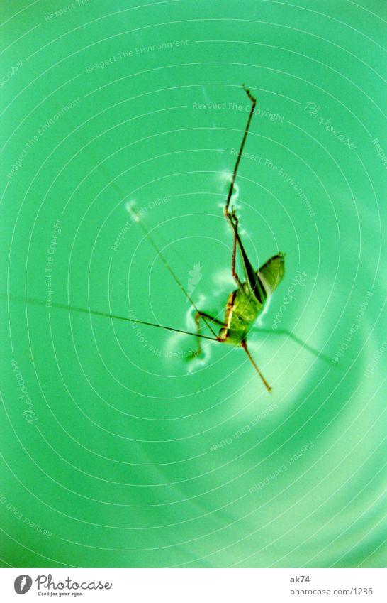 Grashüpfer Wasser grün Heuschrecke