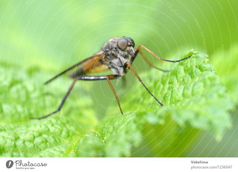 Raubfliege Tier Wildtier Fliege 1 sitzen braun gold grau grün Farbfoto Außenaufnahme Nahaufnahme Makroaufnahme Menschenleer Textfreiraum links