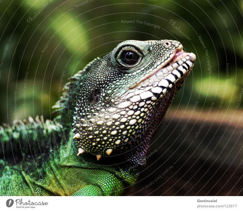 Echsot I weiß grün schwarz Auge gelb Farbe Stil Haut Spitze trocken Zoo Leder Drache exotisch Zunge Scheune