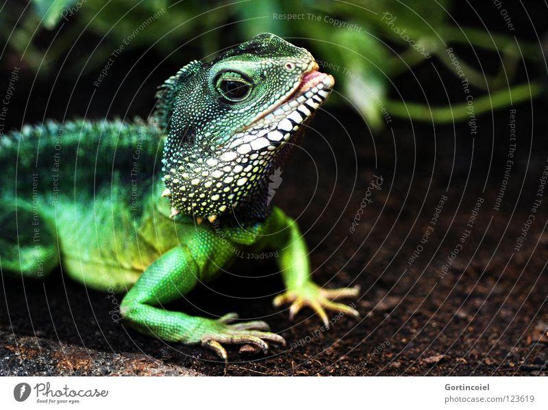 Echsot II exotisch Zoo grün Terrarium Reptil Echsen Agamen Wasseragame Leguane Maul Zunge Physignathus cocincinus Farbfoto mehrfarbig Nahaufnahme