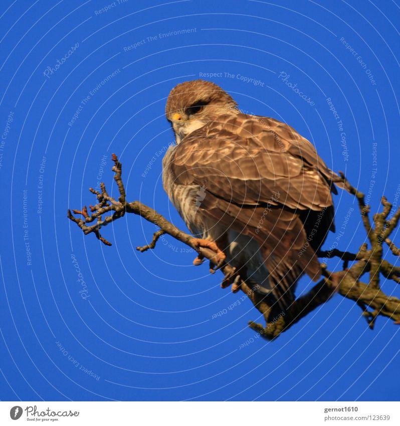 Mäusebussard, oder? Bussard Adler Milan Greifvogel Vogel Jäger Krallen Aussicht braun gelb Schnabel Konzentration Karnivore Beutejäger Blick fliegen blau Himmel