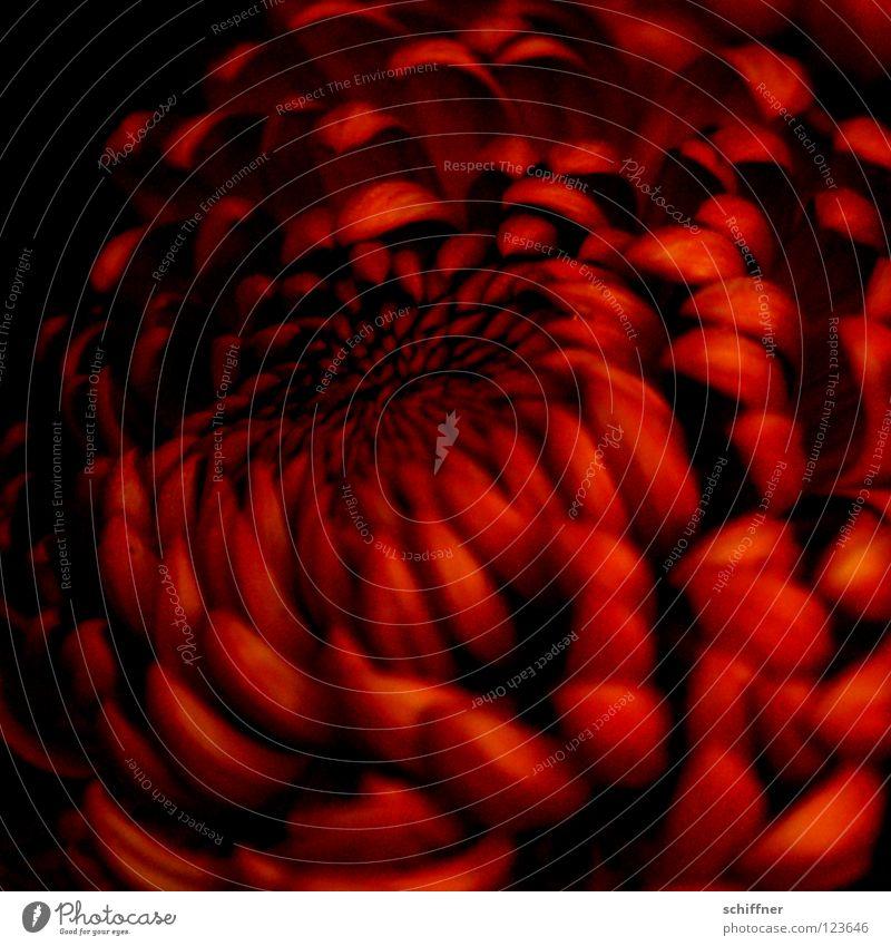 Deep Red Blüte Blume Pflanze Zierpflanze Heilpflanzen Stauden rot zart mystisch tiefgründig dunkel aufmachen Muster Vergänglichkeit Herbst Chrysanteme