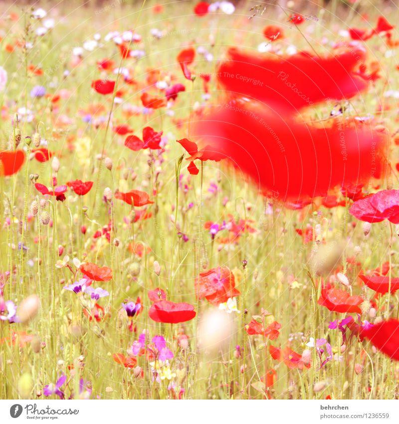 farbklecks Natur Pflanze Frühling Sommer Herbst Schönes Wetter Blume Gras Blatt Blüte Wildpflanze Mohn Garten Park Wiese Feld Blühend verblüht Wachstum Duft