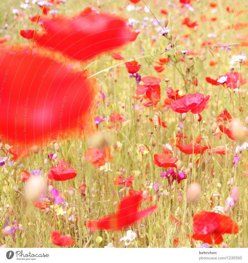 n Natur Pflanze Sonne Frühling Sommer Schönes Wetter Blume Gras Blatt Blüte Wildpflanze Mohn Garten Park Wiese Feld Blühend Wachstum schön Kitsch violett rosa