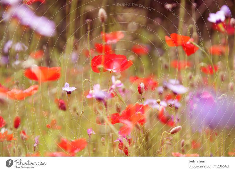 mo(h)ntag bleibt mo(h)ntag bleibt mo(h)ntag Natur Pflanze Frühling Sommer Schönes Wetter Blume Gras Blatt Blüte Wildpflanze Mohn Garten Park Wiese Blühend Duft