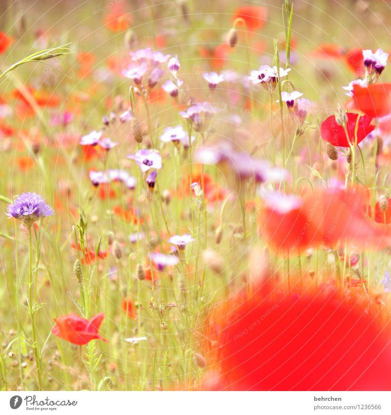 t Natur Pflanze Sonne Frühling Sommer Herbst Schönes Wetter Blume Gras Blatt Blüte Wildpflanze Mohn Garten Park Wiese Feld Blühend Wachstum schön Kitsch violett