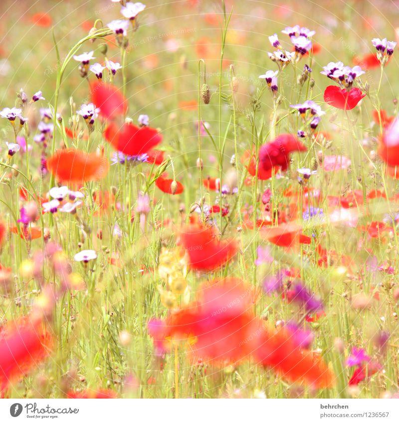 happy mo(h)nday! Natur Pflanze Frühling Sommer Schönes Wetter Blume Gras Blatt Blüte Mohn Garten Park Wiese Blühend Duft verblüht Wachstum schön rot sommerlich