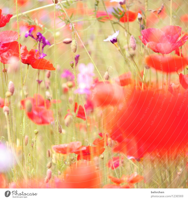 flora sagt: heut ist mo(h)ntag! Natur Pflanze Frühling Sommer Schönes Wetter Blume Gras Blatt Blüte Mohn Garten Wiese Feld Blühend Wachstum schön violett rot