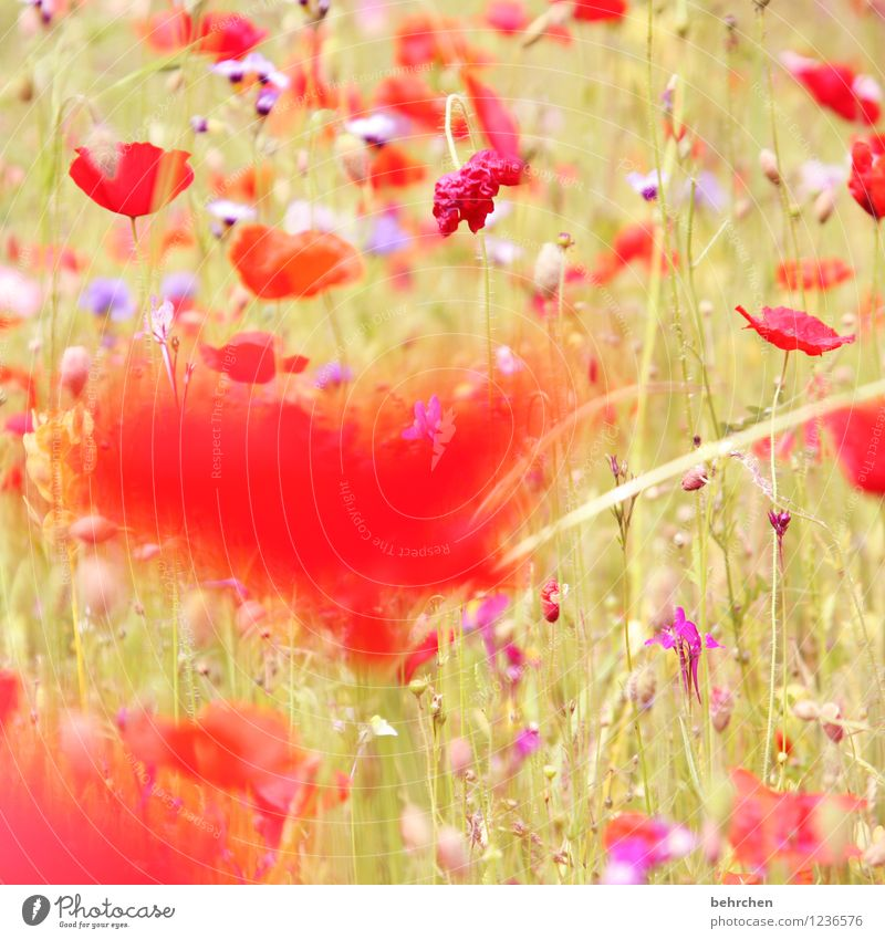 mo(h)n cheri Natur Pflanze Frühling Sommer Schönes Wetter Blume Gras Blatt Blüte Wildpflanze Mohn Garten Park Wiese Feld Blühend Duft verblüht Wachstum frisch