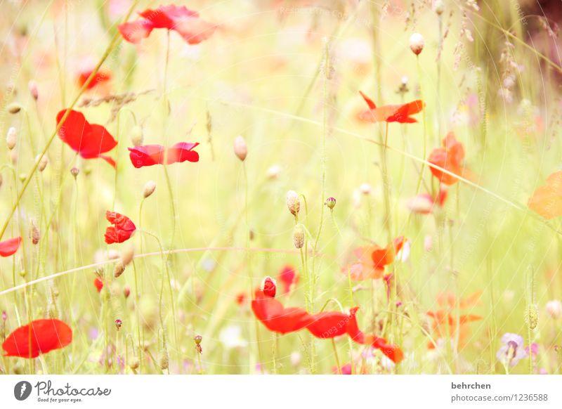 mo(h)ntagserwachen Natur Pflanze Frühling Sommer Herbst Schönes Wetter Blume Gras Blatt Blüte Wildpflanze Mohn Garten Park Wiese Feld Blühend verblüht Wachstum