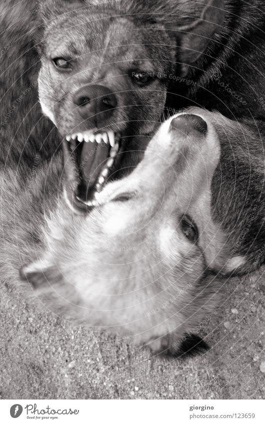 aaagghhh Kraft Tier gefährlich Macht dog fight teeth dogs black&white Schwarzweißfoto dog eyes ground playing dogs dog play danger animals strong challenge bet