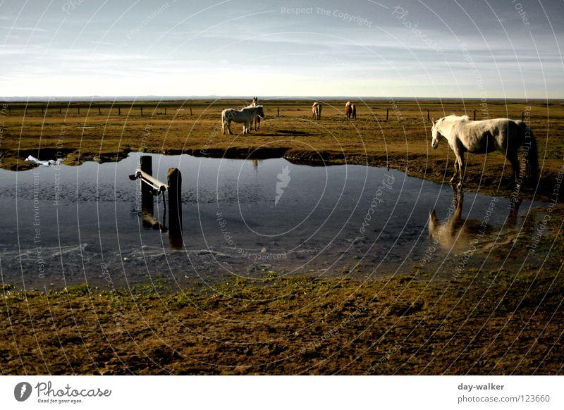 Horse Island Weide Feld Steppe Teich Pfütze Pferd Gras Grasland Reflexion & Spiegelung Wolken Küste auslaufen Tier Spiegelbild Strand Säugetier Insel Landschaft