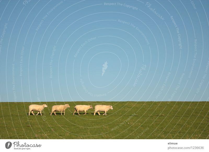 Herda, Uschi, Elvira und Molli auf dem Weg zur (Mäh)arbeit blau grün Sommer Tier gelb Gras Wege & Pfade Glück Zusammensein Horizont Zufriedenheit Ordnung