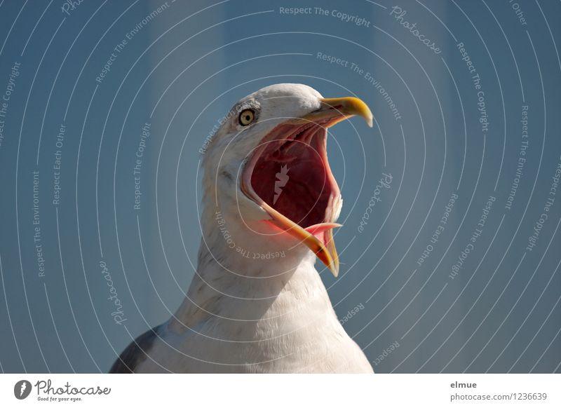 Der Schrei. Vogel Möwe Sturmmöwe Warnung Schnabel offen Krach möwenschrei Kommunizieren schreien rebellisch blau weiß Euphorie Leidenschaft Wachsamkeit Wut