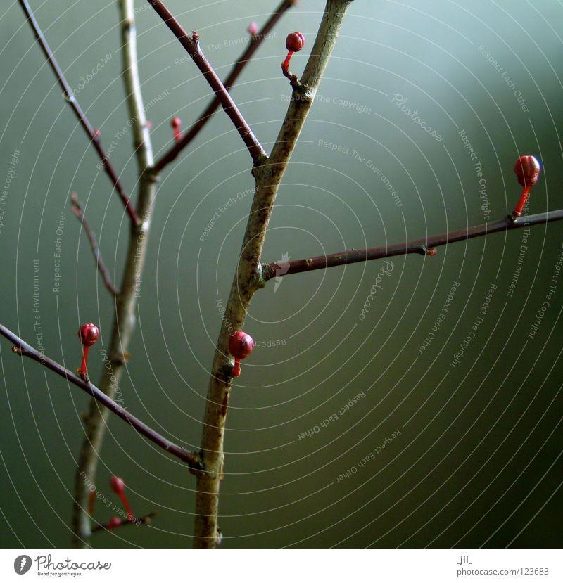 ruby 2 Natur schön Baum blau rot Leben dunkel Blüte grau braun Beginn Kraft Wachstum einfach Klarheit Ast