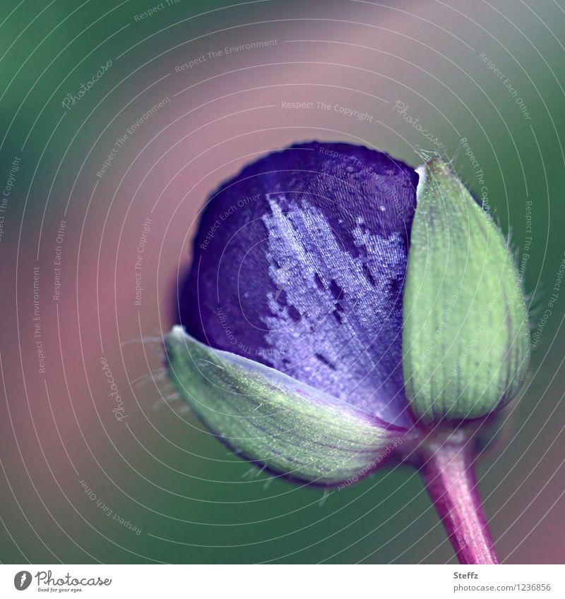 Blütenknospe einer Dreimasterblume Gottesauge Eintagsblume Garten-Dreimasterblume Tradescantia Tradescantia x andersoniana Commelinagewächse violette Blume