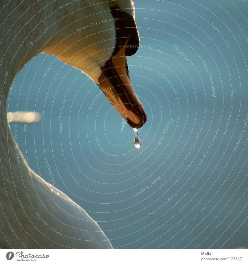 Durst Schwan Vogel See Teich hängen Schnabel gekrümmt Treue Beleuchtung schimmern glänzend Hochmut Wasser Wasservogel Küste Wassertropfen laufen lebenslang