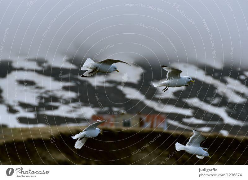 Island Natur Landschaft Wolken Tier Umwelt Berge u. Gebirge natürlich fliegen Stimmung wild Nebel Wildtier Klima Schneebedeckte Gipfel Möwe