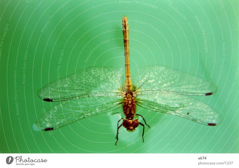 Libelle Wasser grün fliegen Flügel Insekt Makroaufnahme