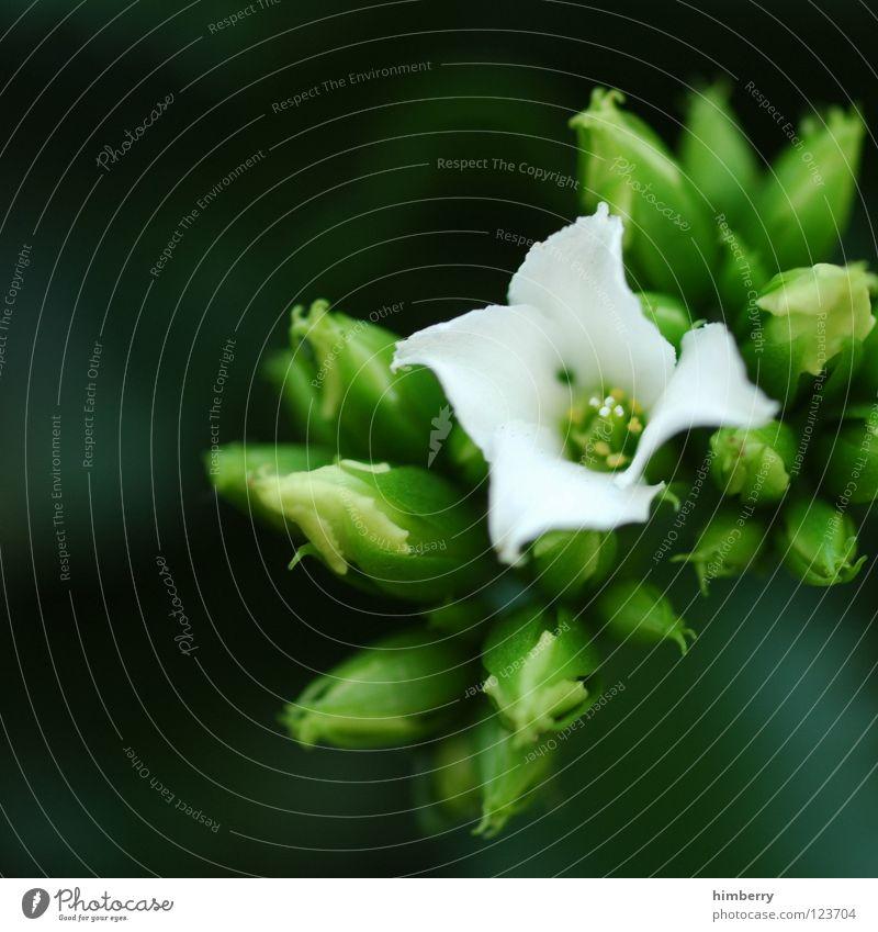 the one Natur Pflanze schön Farbe weiß Sommer Blume Frühling Blüte Hintergrundbild Wachstum frisch Blütenknospen Botanik Blütenblatt