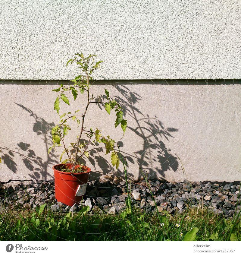 zweischattige Tomate Gemüse Natur Pflanze Sommer Grünpflanze Nutzpflanze Garten Mauer Wand Blumentopf dehydrieren Wachstum braun grün Umwelt