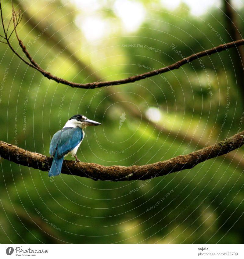 i am still a king... weiß Baum blau ruhig schwarz Tier Vogel Asien Ast Urwald Schnabel Schwanz Singapore Eisvögel