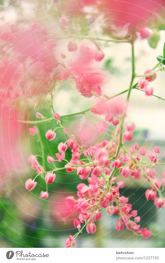 rosa Natur Pflanze Frühling Sommer Schönes Wetter Baum Blatt Blüte Garten Park Wiese Blühend Duft verblüht Wachstum schön Kitsch klein Zweige u. Äste sommerlich