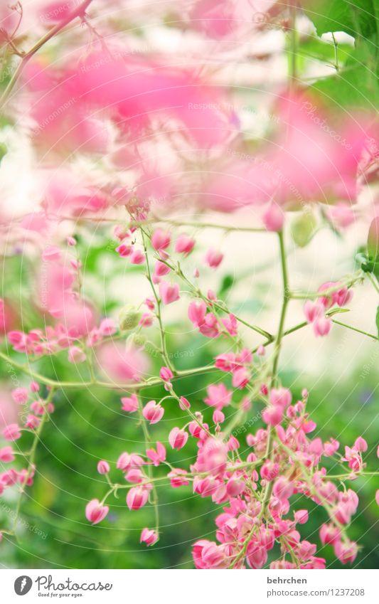 rosa traum Natur Pflanze Frühling Sommer Schönes Wetter Baum Blatt Blüte Wildpflanze Garten Park Wiese Blühend Duft verblüht Wachstum schön klein natürlich grün
