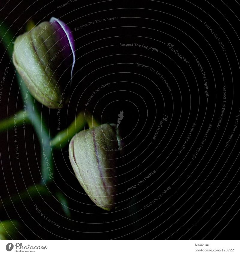 Landekapseln Blume Pflanze dunkel Blüte geschlossen Zukunft Kultur Vergänglichkeit Vertrauen Blühend Leidenschaft Ackerbau Erwartung Blütenknospen Orchidee