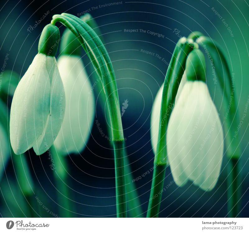 Snowdrops Blume grün blau Pflanze Sommer Winter Farbe Schnee Wiese Blüte Frühling Wachstum zart Blühend Jahreszeiten hängen