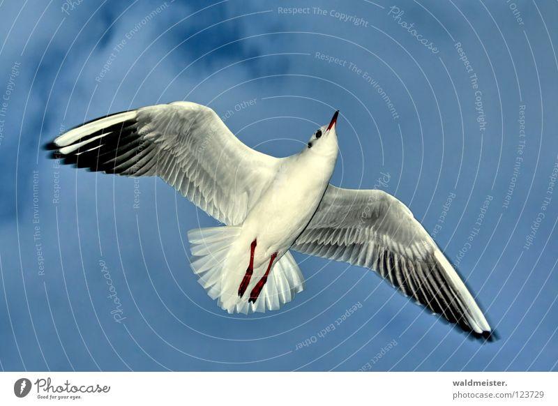 Möwe Himmel Meer Strand Vogel fliegen Luftverkehr Feder Flügel Schnabel Lachmöwe