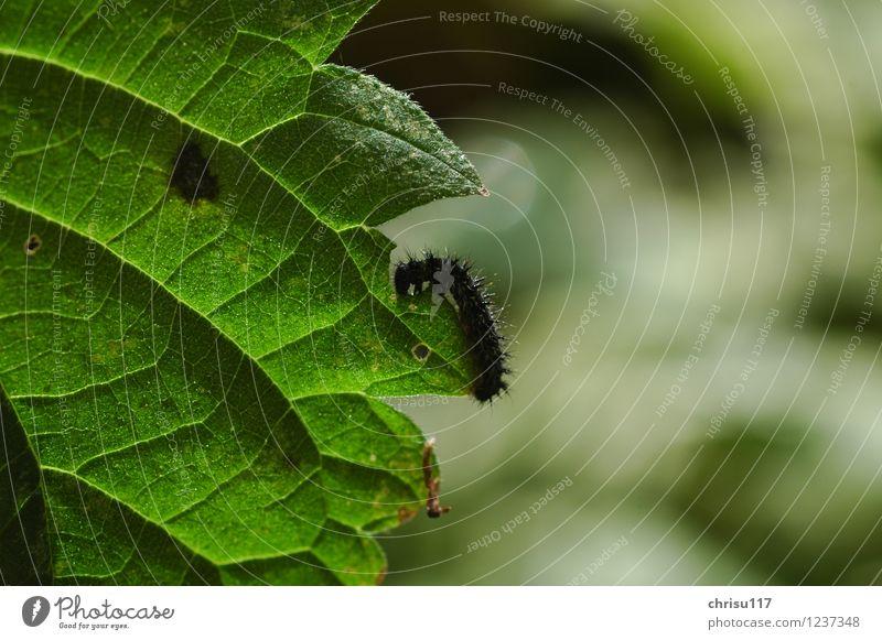 hungrige kleine Raupe / Pfauenauge Natur Pflanze Blatt Grünpflanze Wiese Tier Wildtier Schmetterling 1 Tierjunges Fressen krabbeln Tagpfauenauge Farbfoto