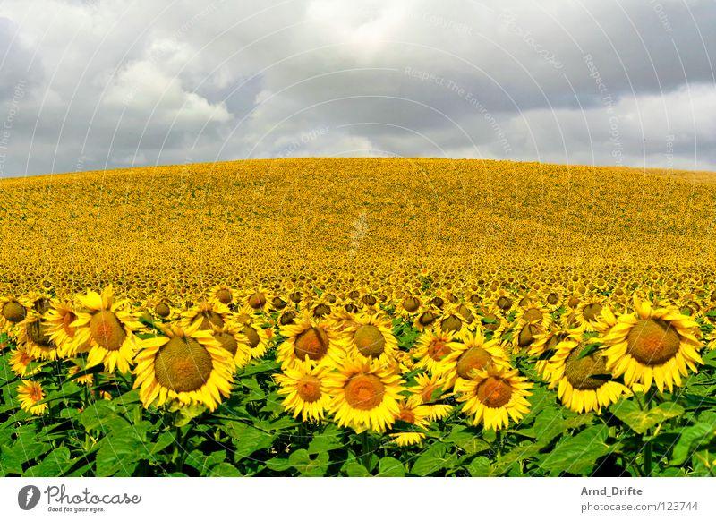 Sonnenblumenfeld II Wolken Feld Blume Sommer gelb weiß Frühling Horizont Landwirtschaft fleißig Arbeit & Erwerbstätigkeit Fröhlichkeit Freundlichkeit frisch