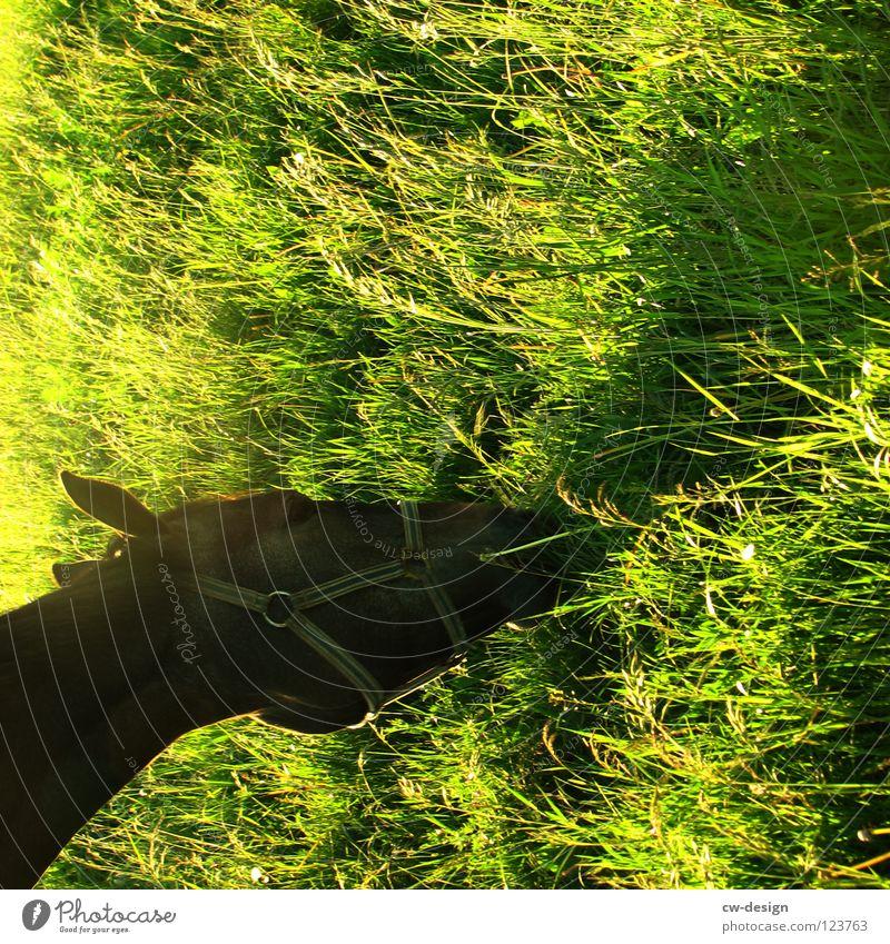 Come to where the flavour is XII Pferdegebiss Fressen Grünpflanze aufreißen Gehege Western Sonnenuntergang Blendeneffekt blenden Pferdewurst Wiese Blume weiß