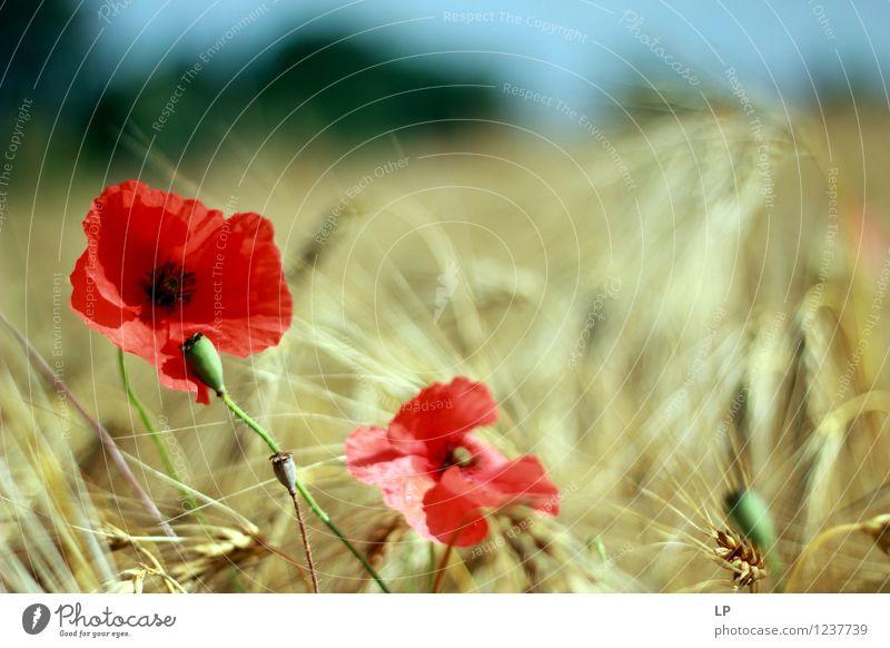 2 Mohnblumen Himmel Natur Pflanze schön Sommer Landschaft Umwelt Wärme Frühling Blüte Wiese feminin Garten Horizont Park wild