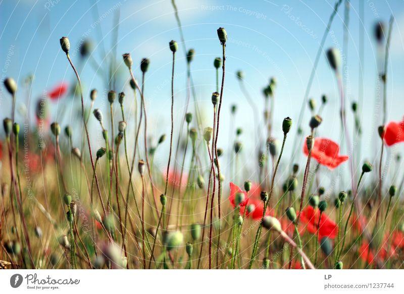 Kapseln Umwelt Natur Landschaft Pflanze Urelemente Luft Erde Himmel Wolkenloser Himmel Horizont Frühling Sommer Klima Schönes Wetter Gras Blüte Nutzpflanze
