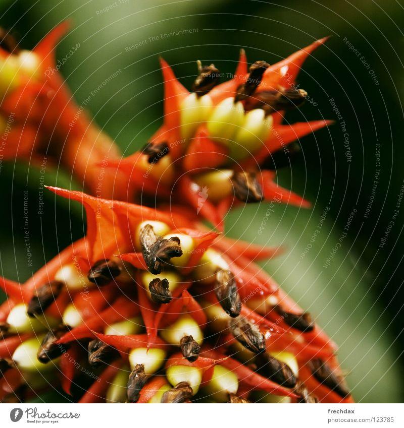 Roter Drache grün rot Pflanze Blume Ferne gelb Wärme Blüte nass Physik dünn Urwald exotisch Samen Botanik Stempel